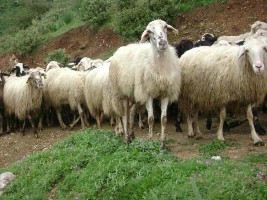 Ενημέρωση σχετικά με την  απογραφή των αιγοπροβατοτρόφων και χοιροτρόφων