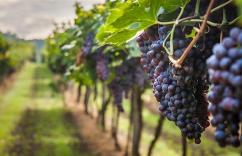 Παράταση υποβολής αιτήσεων χορήγησης αδειών νέων φυτεύσεων αμπέλου με οινοποιήσιμες ποικιλίες για το έτος 2021